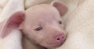 Piglet the Pink Puppy Can't See or Hear, But He Inspires Kids Every Day