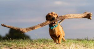Small But Mighty Dachshund Has A Passion For Big Sticks