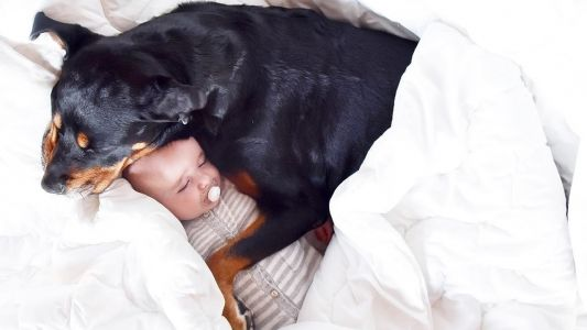 Watch This Video To Witness The Beauty Of A Rottweiler-Baby Interaction