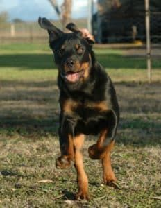 Here are 9 Smart Tricks to tire out your Rottweiler