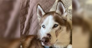 Rover Sitter Returns Husky With Burns And Puncture Wounds