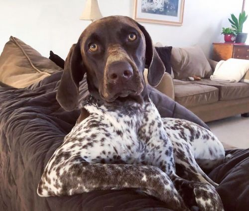 German Shorthaired Pointer Breed Info Guide: Quirks, Pictures, Personality & Facts