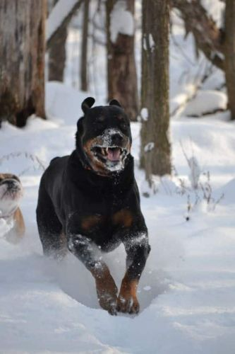 14 Signs Rottweilers Are Flying Dogs!