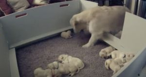 Mama Goldie Lets Her Scared Puppy Know She's There