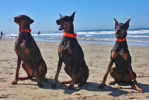 Doberman Pinscher Breed Information Guide: Quirks, Pictures, Personality & Facts