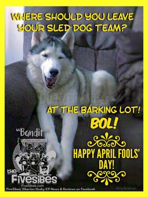 No April Fools Here, Just A Silly Sibe With a Sled Dog Joke!