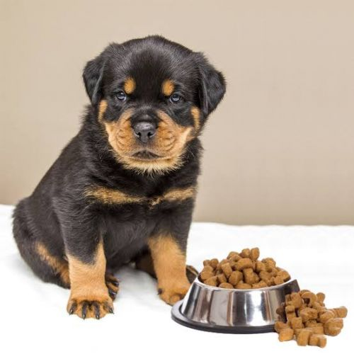 What Can Be The Best Food For Your Rottweiler Puppy?
