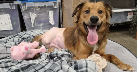 Stray Dog Who Lost Leg In A Trap Is Flooded With Adoption Applications
