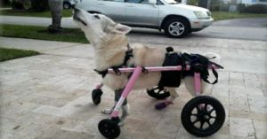 Special Needs Dog Was In The Back Seat Of A Stolen Car, Still Missing