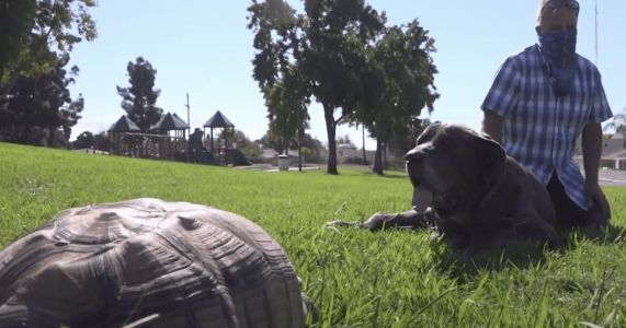 UPDATE: Charlie The Great Dane Befriends Tortoise In Forever Home