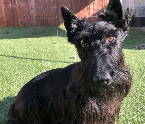 Scottish Terrier Breed Information Guide: Quirks, Pictures, Personality & Facts