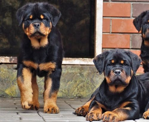 What You'll Need to Budget for When Getting a Rottweiler