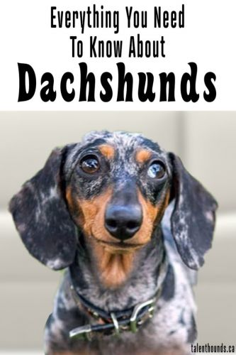 Everything you really need to know about Dachshunds