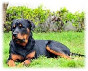 Rottweiler Tails