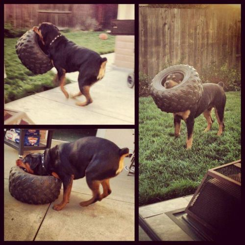 14 Signs Proving Rottweilers Are Just Big Teddy Bears!