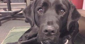 Guide Dog Dropout Becomes 'Custody Canine' For UK Police Station