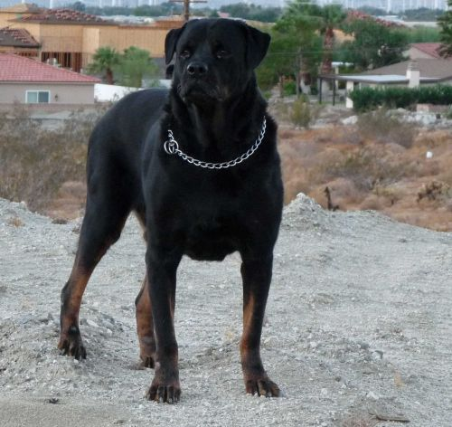What Is So Special About A Black Rottweiler?