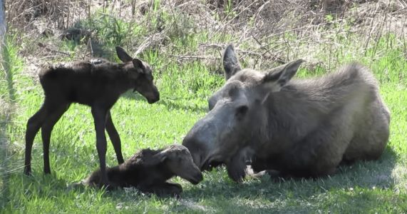 Every Year, Moose And Her Adorable Newborn Babies Find Comfort In Man's Yard