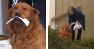 Fur Mom Trains Golden Retriever To Bring Groceries To Neighbor In Need