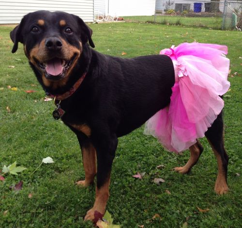 Should You Go For A Girl Rottweiler?