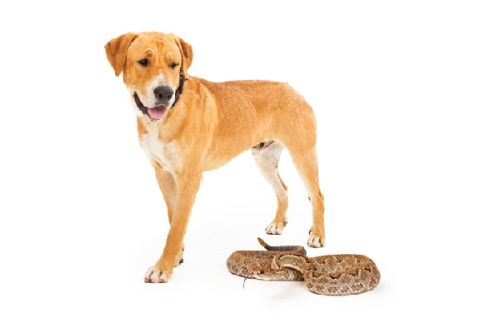 Snake Bites on Dogs - What to Know & What to Do