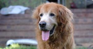Scientists Need 10,000 Dogs To Help Them Study Canine Aging