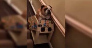 Senior Bulldog Gets His Own Personal Stairlift