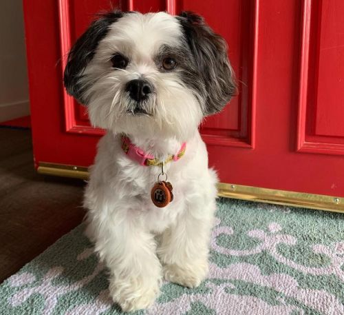 Lhasa Apso Breed Information Guide: Quirks, Pictures, Personality & Facts