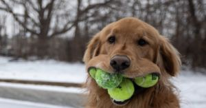 Golden Retriever Holds 6 Tennis Balls In His Mouth!