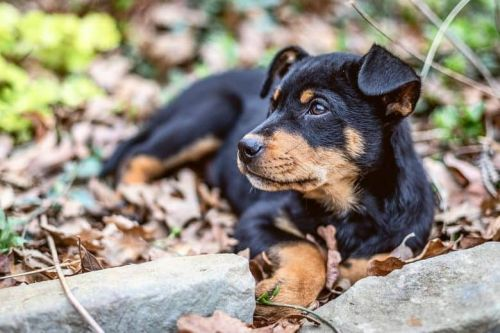 How Can You Train Your Rottweiler And Shepherd Mix?