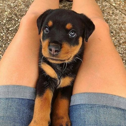 Scientists Prove Your Rottweiler Loves You More Than You Ever Realized
