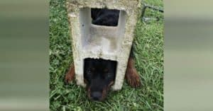 Curious Rottweiler Puppy Gets Head Stuck In Cinder Block, Firefighters Rush To Save Her