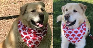 Golden Retriever Has an Exciting New Life After Losing 100 Pounds in One Year