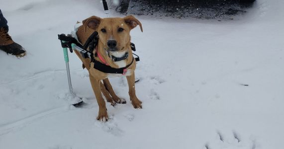 """Paralyzed Dog Is Searching For A Family To """"Ski"""" With And Love Forever"""