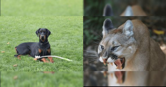 Footage Shows Doberman Fake Death To Survive Brutal Mountain Lion Attack