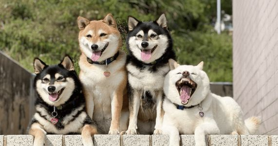 "Shiba Inu's Silly Antics ""Ruin"" Family Photos"