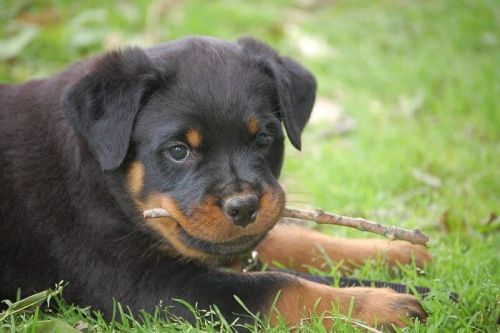370 Rottweiler Names - Popular Male and Female Names