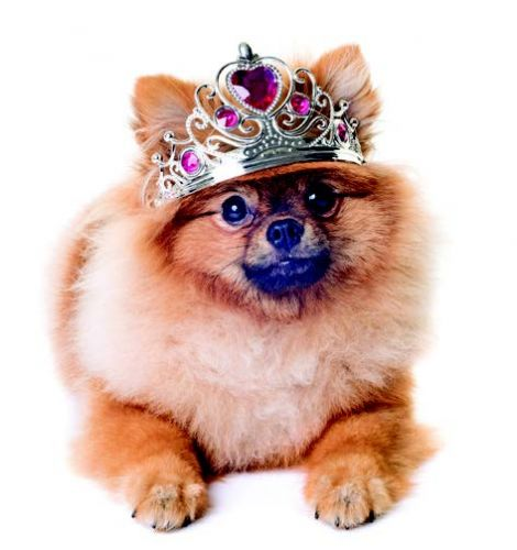 A Quintessential Toy Dog - The Pomeranian