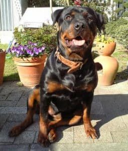 Why Do We All Love Rottweilers?