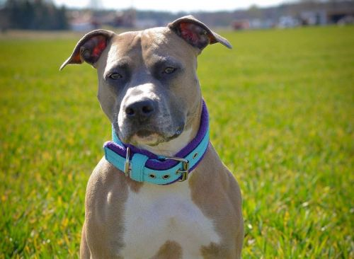 American Staffordshire Breed Information Guide: Quirks, Pictures, Personality & Facts