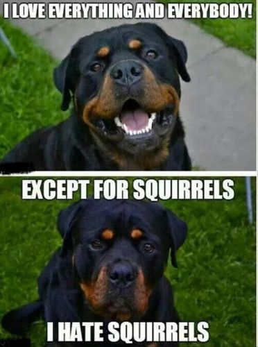 12 Funny Rottweiler Memes To Make Your Day!