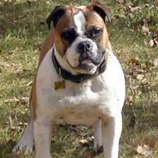 Get to Know the Olde English Bulldogge