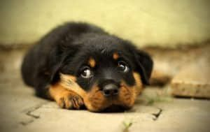 11 Things May unintentionally Shorten Your Rottweiler's Life