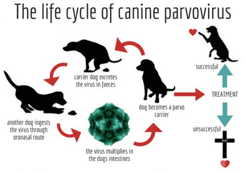 Parvo In Rottweiler Puppies - What You NEED To Know