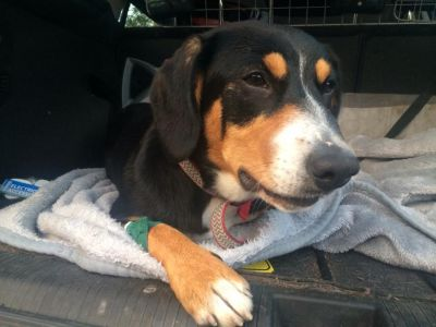 An appeal for Heidi - the Entlebucher pup born with Ectopic Ureter