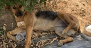 Miracle Dog Found In Plastic Bag With Broken Legs And Bullet Wounds