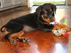 Easing Your Rottweiler's Separation Anxiety