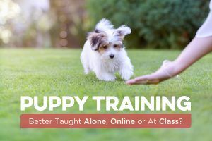 Puppy Training: Better Taught Alone, Online or At Class?
