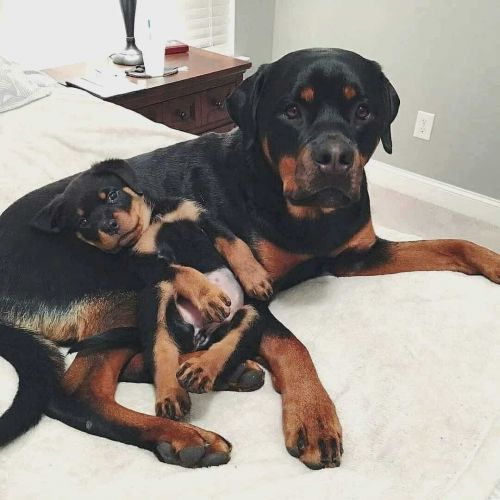 Know All About The Rottweiler Heat Cycle For Your Female Doggo