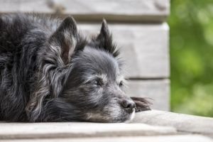 6 Signs Of Dementia In Dogs & How You Can Help